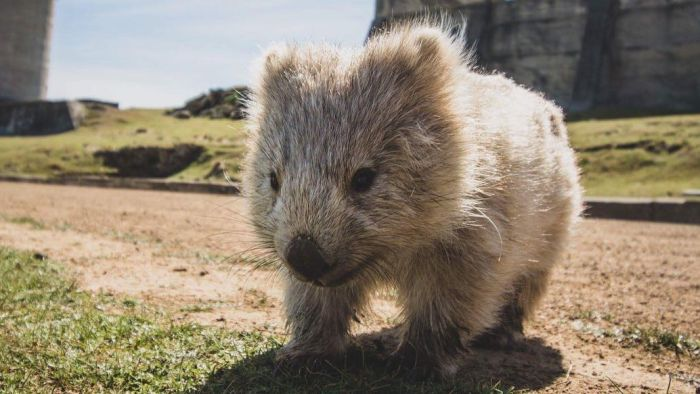 Cheeky Wombat Grin?